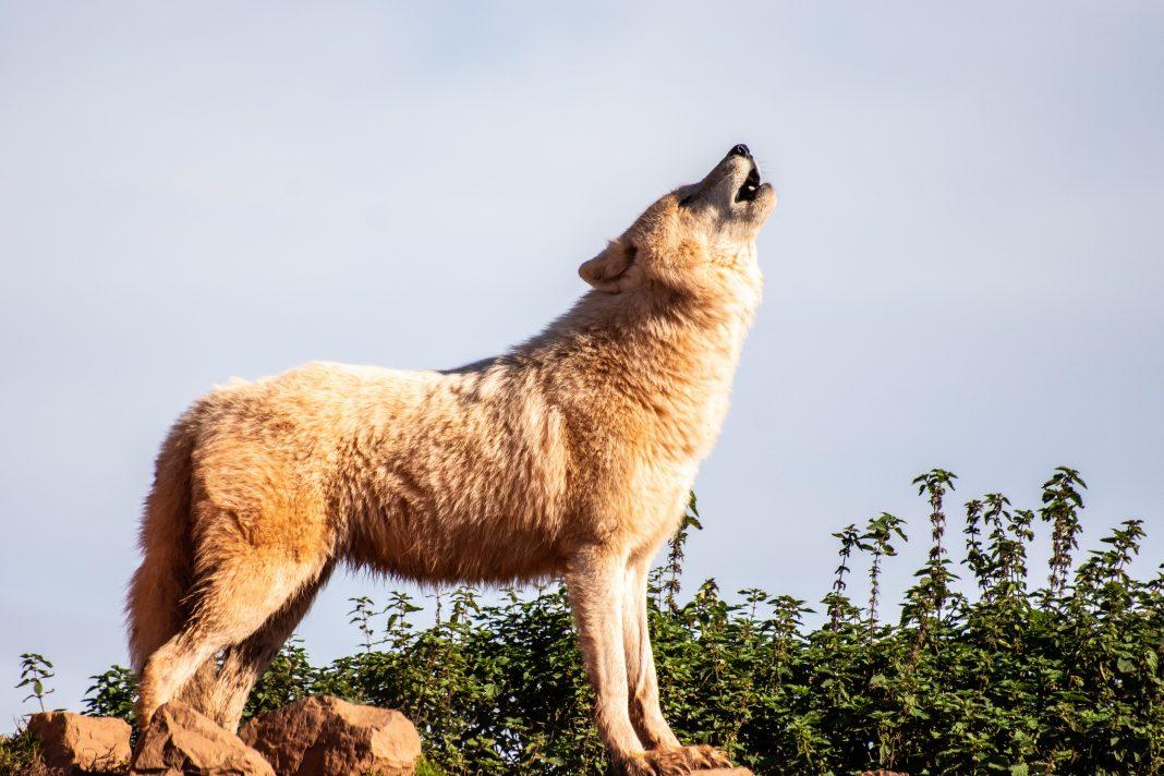 WOLF MANAGEMENT BILL PASSES THE SENATE IN IDAHO