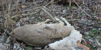 deer urine potentially contains CWD