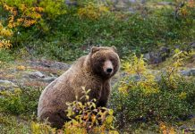 deadlygrizzly attack