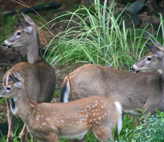 DEER VASECTOMY PROGRAM FALLS SHORT