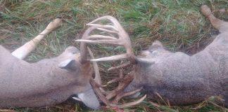 TWO DEER DIE IN KANSAS WITH ANTLERS LOCKED