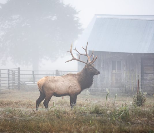 ELK TAGS STILL AVAILABLE FOR RESIDENTS