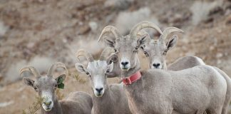 BIGHORN SHEEP RELEASED