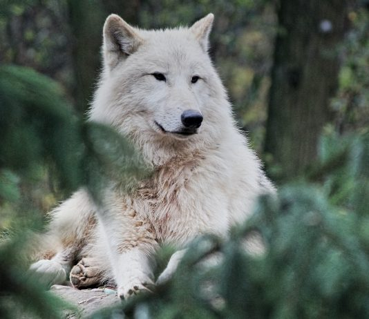 WISCONSIN SETS FALL WOLF HUNT QUOTA AT 300