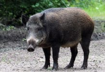 TEXAS WOMAN DIES AFTER BEING ATTACKED BY FERAL HOGS