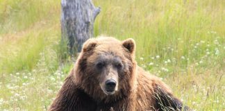 HUNTERS KILL CHARGING GRIZZLY IN MONTANA