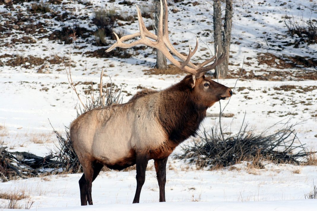 WISCONSIN ELK APPLICATION PERIOD NOW OPEN