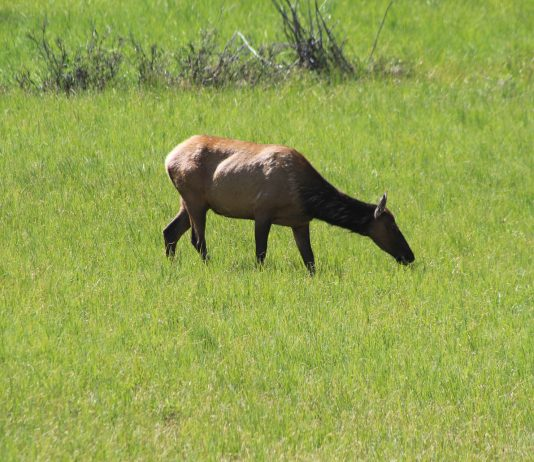WYOMING ACCEPTS 1,130 ELK BRUCELLOSIS SAMPLES