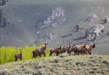 BOULDER COUNTY TO CULL RED HILL ELK HERD