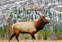 ELK LEFT TO ROT IN COLORADO