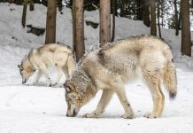 MEN CITED FOR POACHING WOLVES IN MONTANA