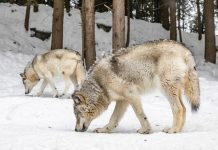 COLORADO COUNTY JOINS OPPOSITION TO WOLF REINTRODUCTION