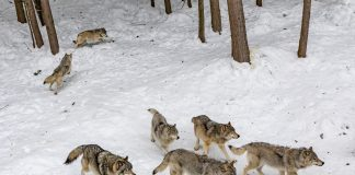 PROTECTION OF CATTLE AGAINST WOLVES IN WASHINGTON