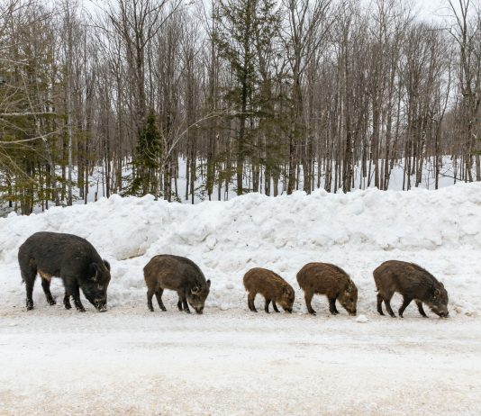 MONTANA WORRIES ABOUT CANADIAN FERAL HOGS