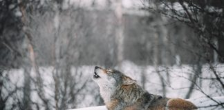 WOLF TRAPPING COURSES IN IDAHO