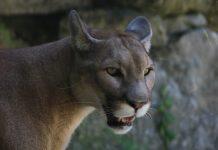 COLORADO MOUNTAIN LION MANAGEMENT PLAN