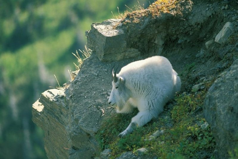 Mountain Goat Quiz Photo