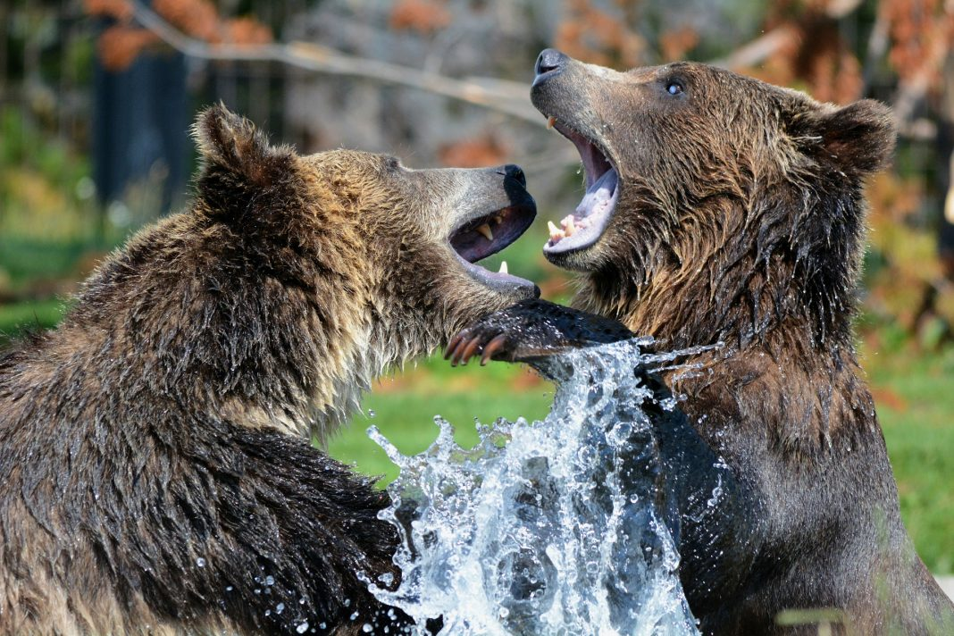 GRIZZLY BEAR KILLED AFTER ATTACKING HUNTERS