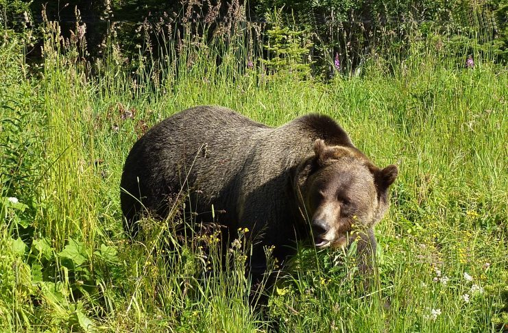 WGFD GRIZZLY BEAR TRAPPING