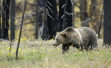 CASPER WY MAN ATTACKED BY GRIZZLY