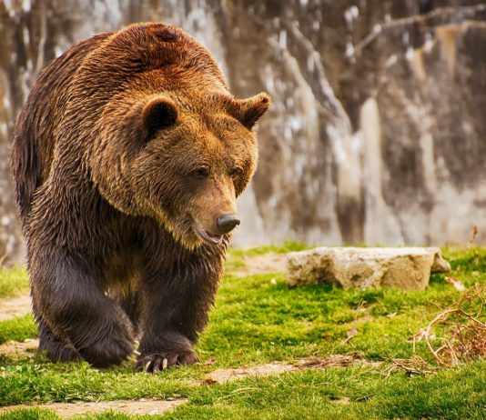 ACTIVISTS SUE FOR REVIEW OF GRIZZLY BEAR PROTECTIONS