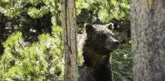 MONTANA TEEN ATTACKED BY BEAR