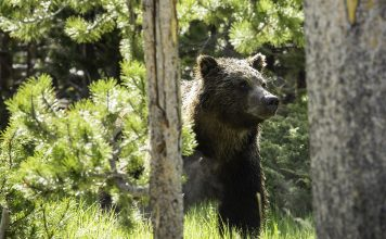 MONTANA TEEN ATTACKED BY BEAR