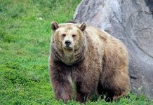 WYOMING DECIDES NO GRIZZLY BEAR HUNT