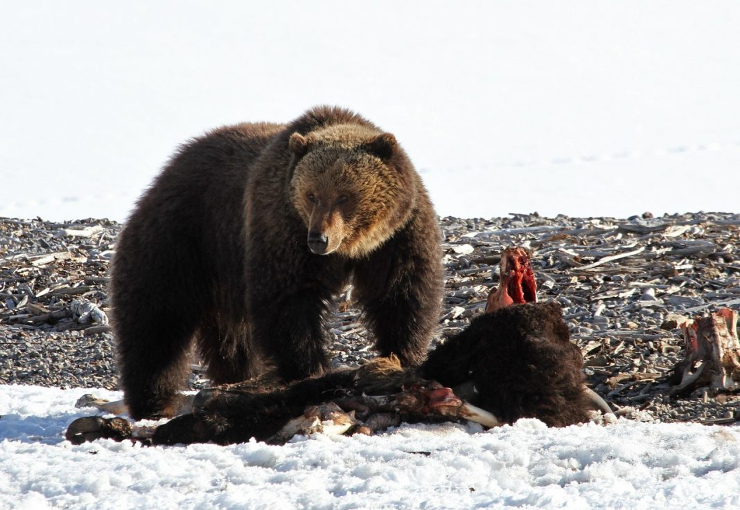 GRIZZLY BEAR BEHAVIOR