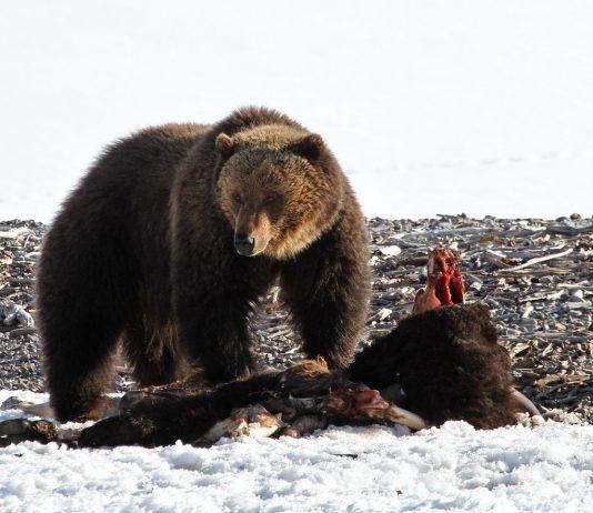 GRIZZLY BEAR BEHAVIOR