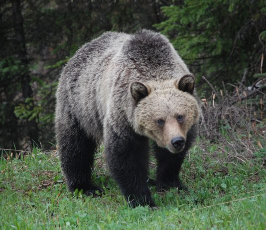 LAWSUIT TO EXPAND GRIZZLY BEAR RECOVERY