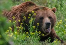 BEAR MAULING RESULTS IN EMERGENCY AREA CLOSURE