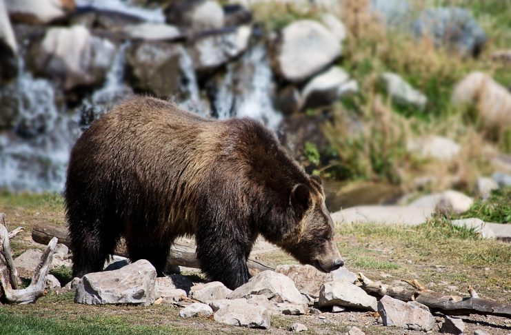 WYOMING HUNTER INJURED BY ATTACKING GRIZZLY