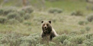 Grizzly hunt blocked