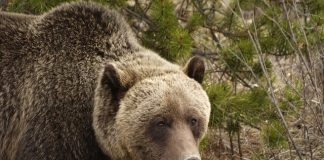 GRIZZLY HUNT IN WYOMING PASSES