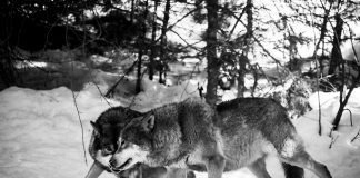 GROUPS PREPARE TO SUE IDAHO OVER WOLF MANAGEMENT
