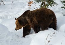 FOR THE FIRST TIME IN 40 YEARS WASHINGTON COLLARS GRIZZLY