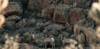 AZGFD WILL REVIEW GAME MANAGEMENT PLAN