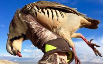 Harvested Male Chukar