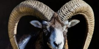 Goat Sheep Pig Hunt Hawaii