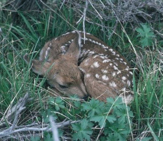 Deer fawn to drug bust