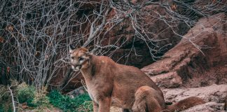 MOUNTAIN LION ATTACKS DEPUTY IN COLORADO