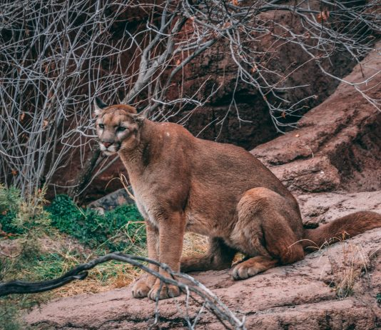 MOUNTAIN LION ATTACKS DEPUTY IN COLORADO