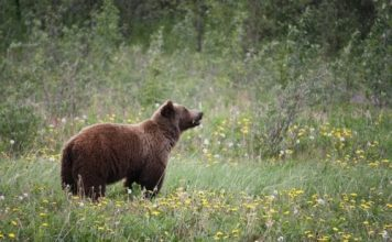 Idaho grizzly relocated