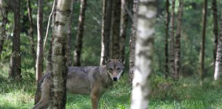 IDAHO EXTENDS WOLF SEASONS