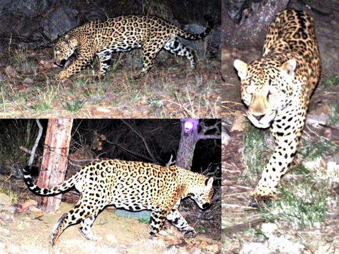 Trail camera pictures of an Arizona jaguar