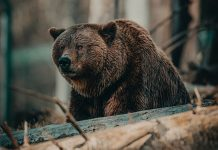 OFFICIALS CANCEL GRIZZLY REINTRODUCTION