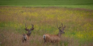 MULE DEER NUMBERS IN SHERIDAN WYOMING