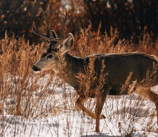 FEWER DEER TAGS FOR UTAH 2021 SEASON