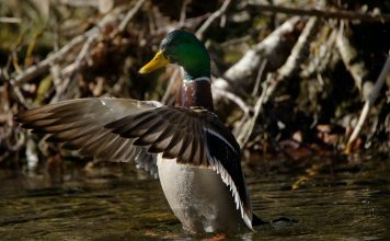 DROUGHT WILL AFFECT DUCK NUMBERS